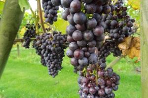 Vindruerne på markerne ved Magtenbølle Vingård