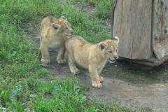 Tre hun-løvekillinger fik tirsdag græs under poterne i Odense Zoo