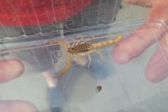 Giftig skorpion fundet i Næsby på Fyn