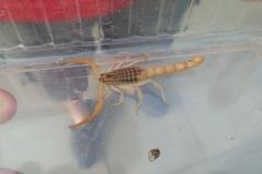 Giftig skorpion fundet i Næsby på Fyn(1)