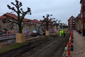 14. marts 2018: Ti fredede platantræer på Middelfartvej i Bolbro skal flyttes i forbindelse med letbanearbejdet. Hvert træ vurderes til at have en værdi af 100.000 kroner.  Foto: Ole Holbech