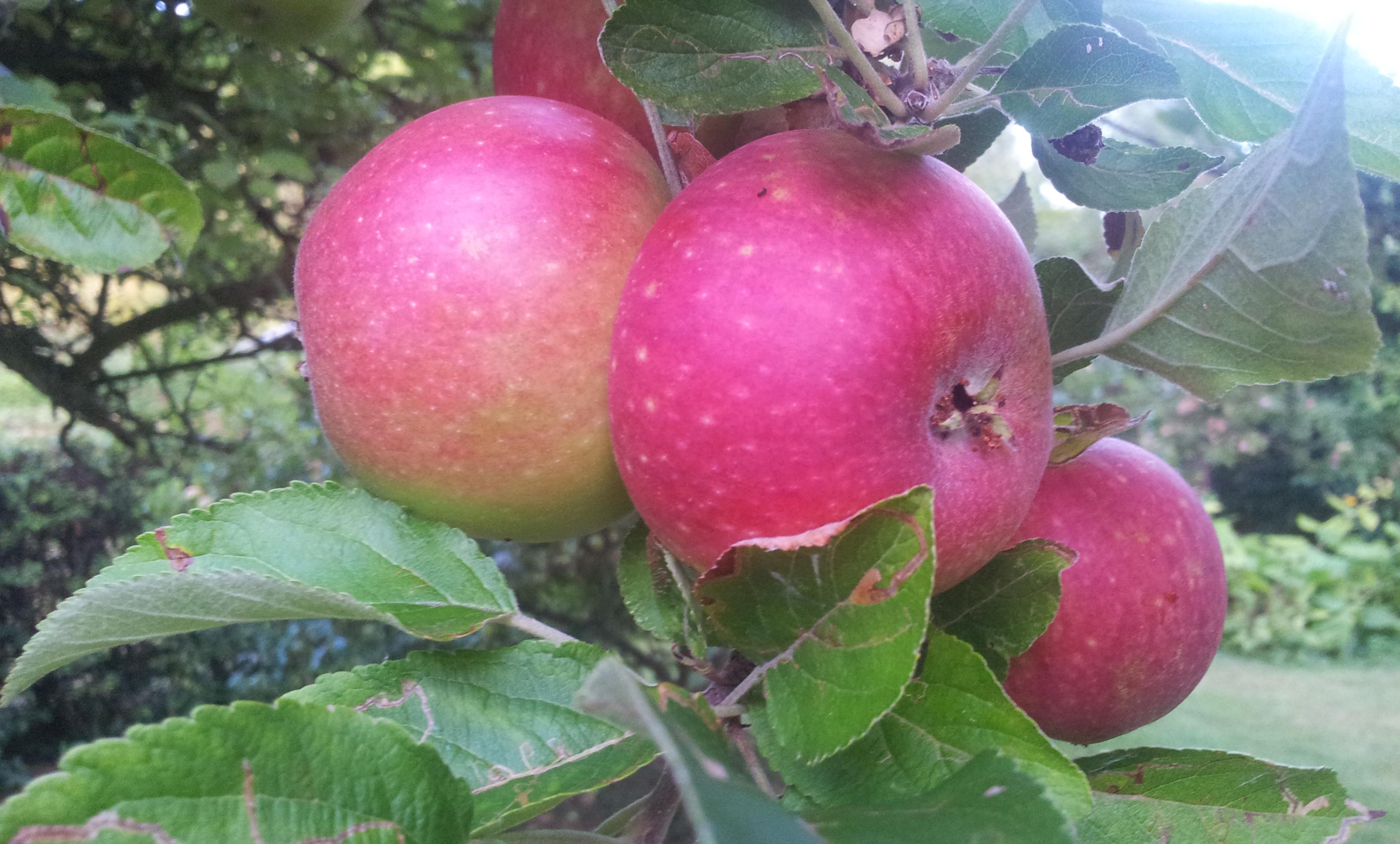 Æbler(1)