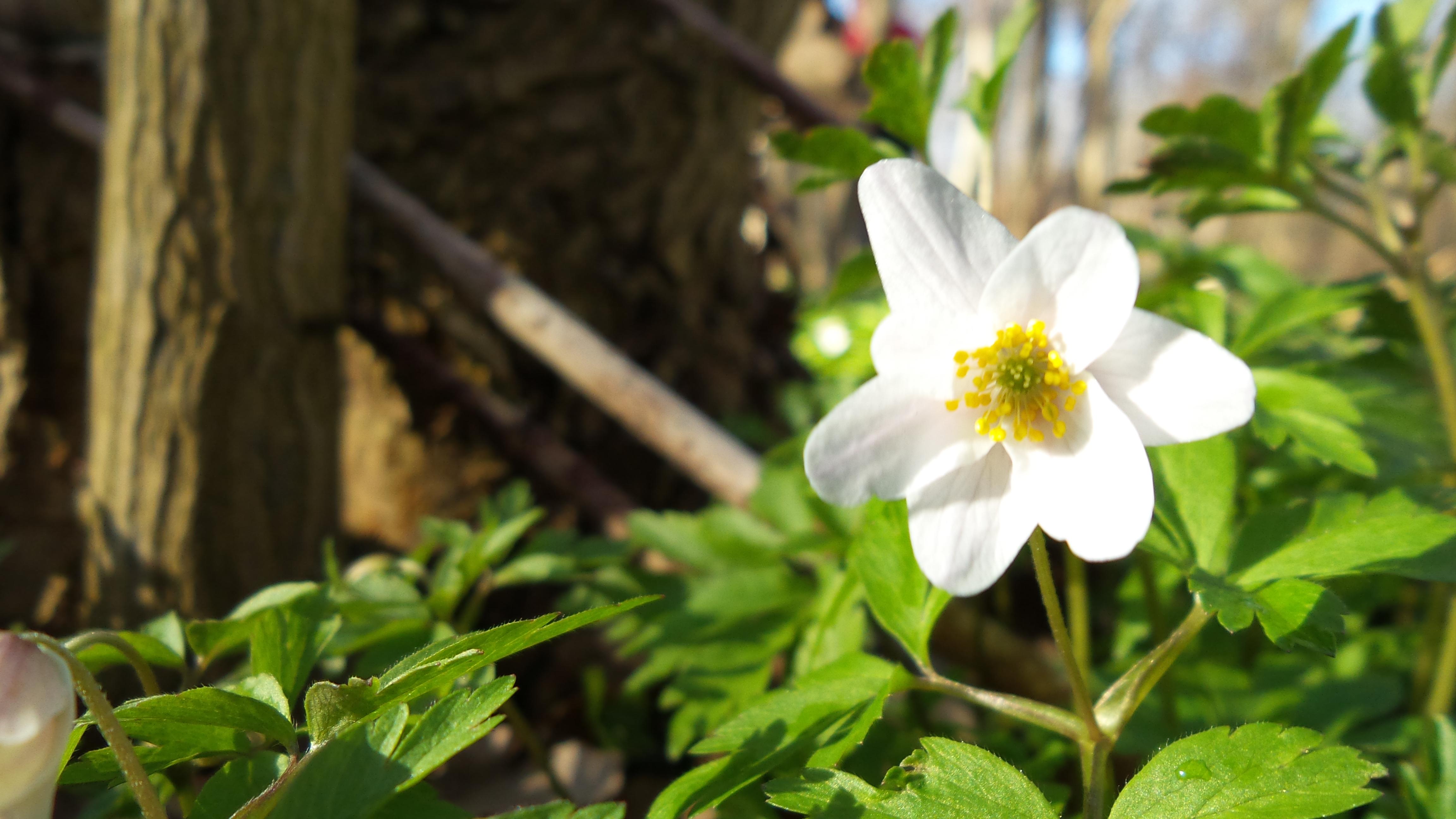Forår Anemone(1)