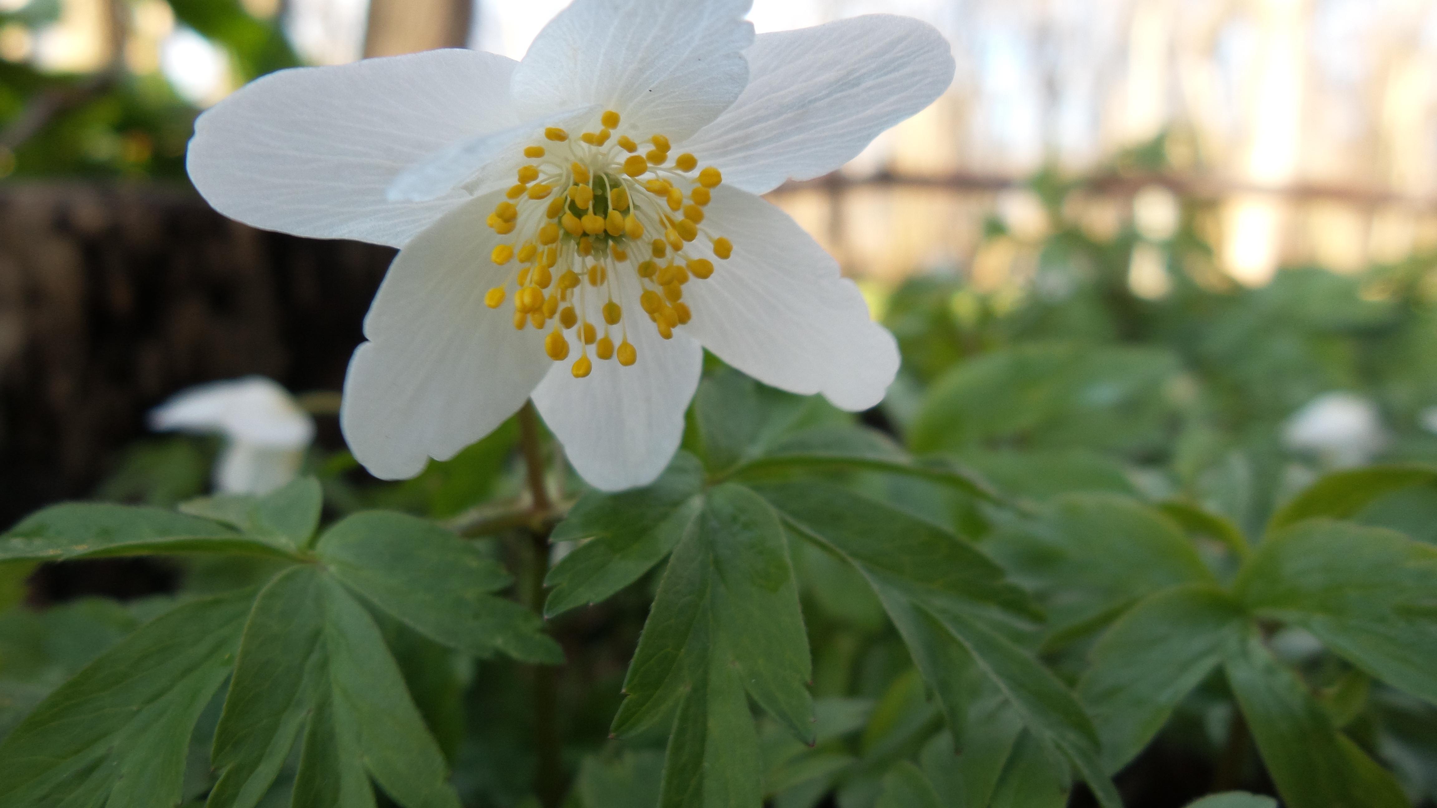Forår Anemone(2)