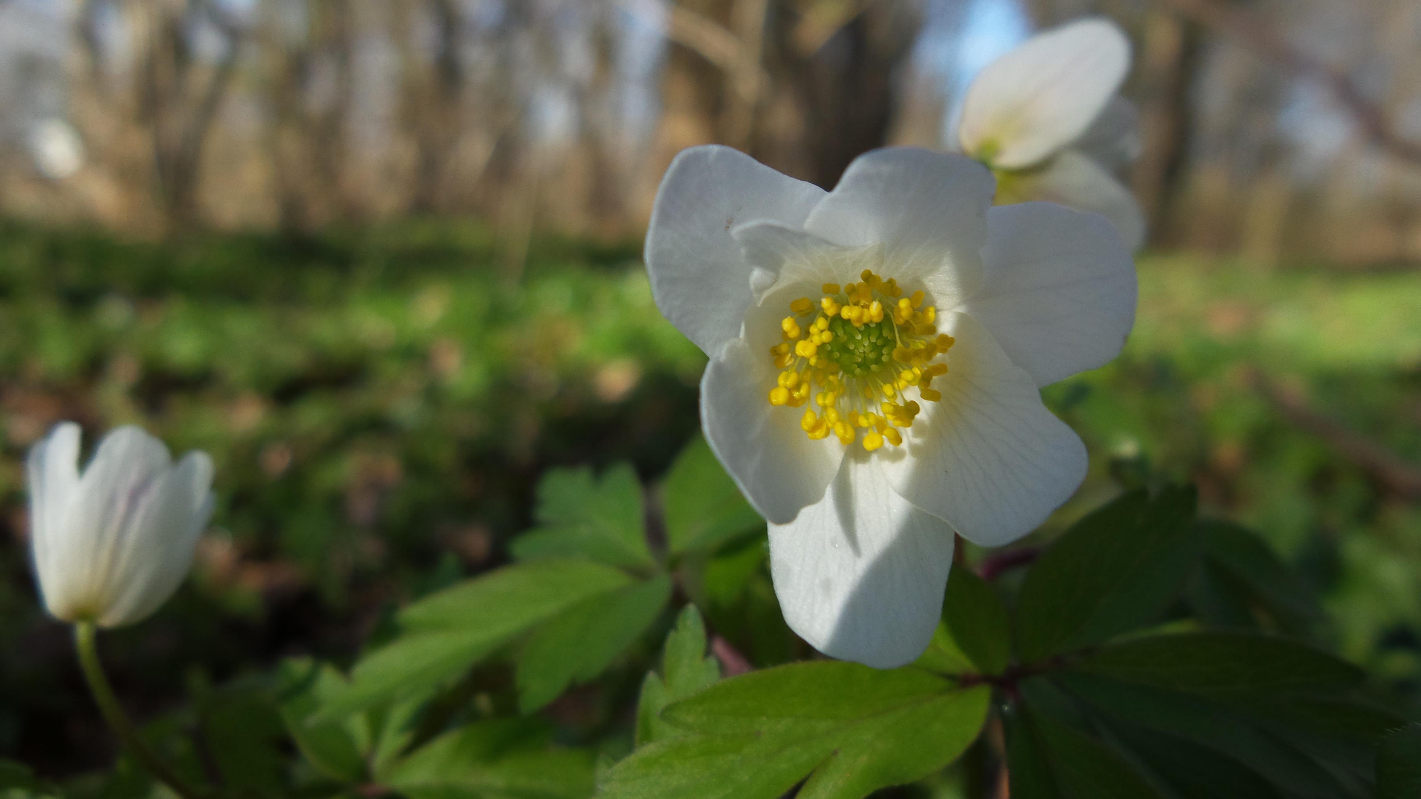 Forår Anemone(3)