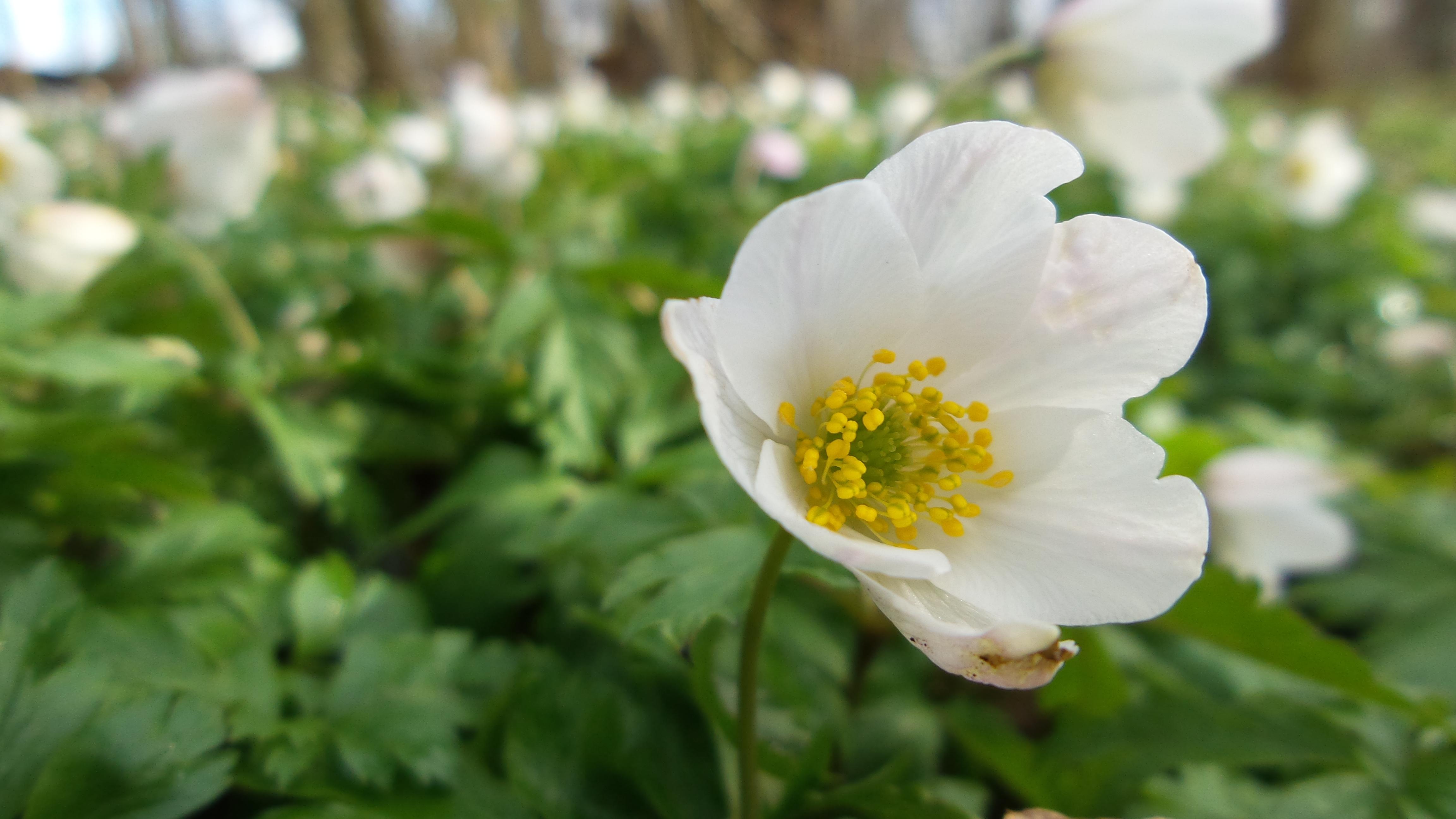 Forår Anemone(4)