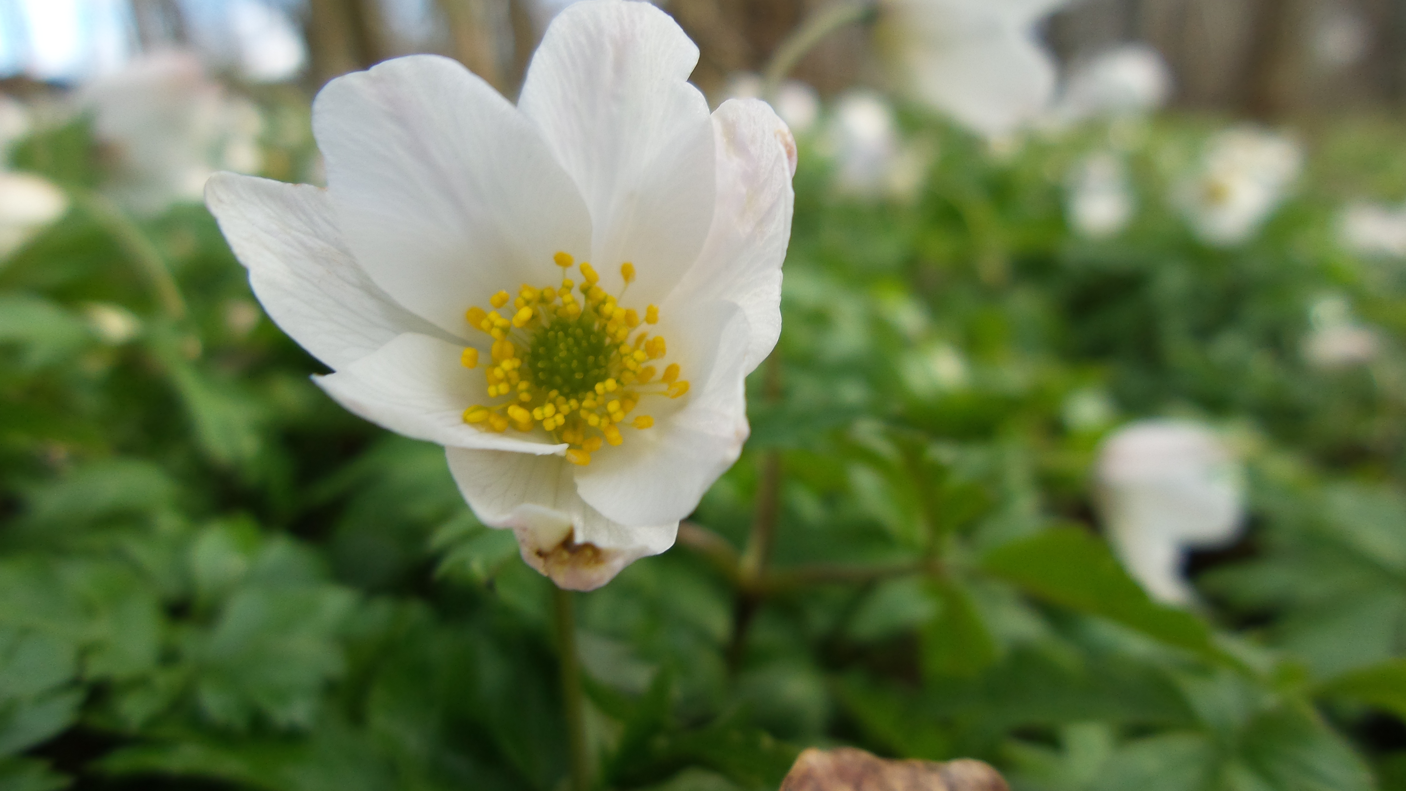Forår Anemone(5)
