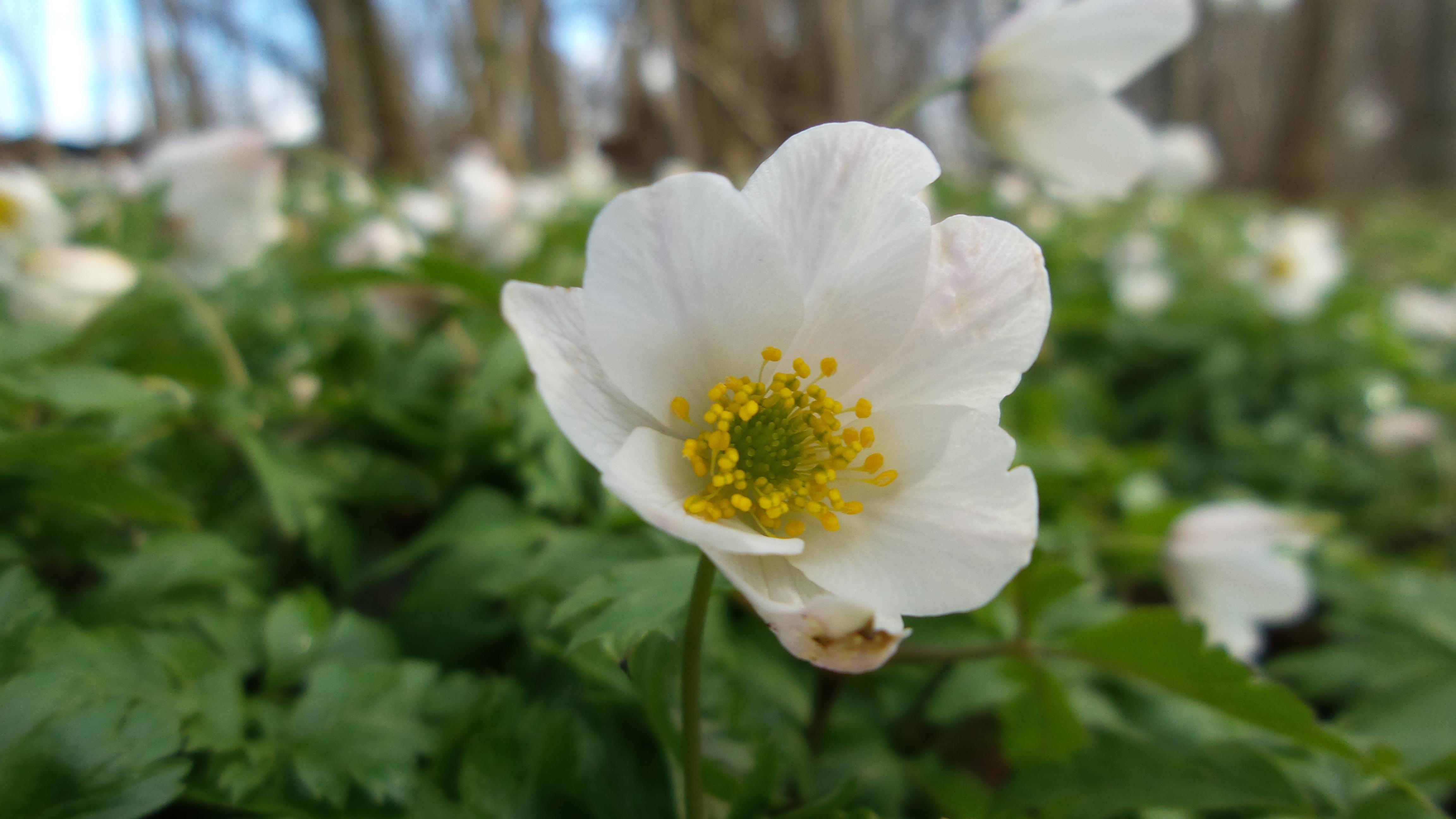 Forår Anemone(6)