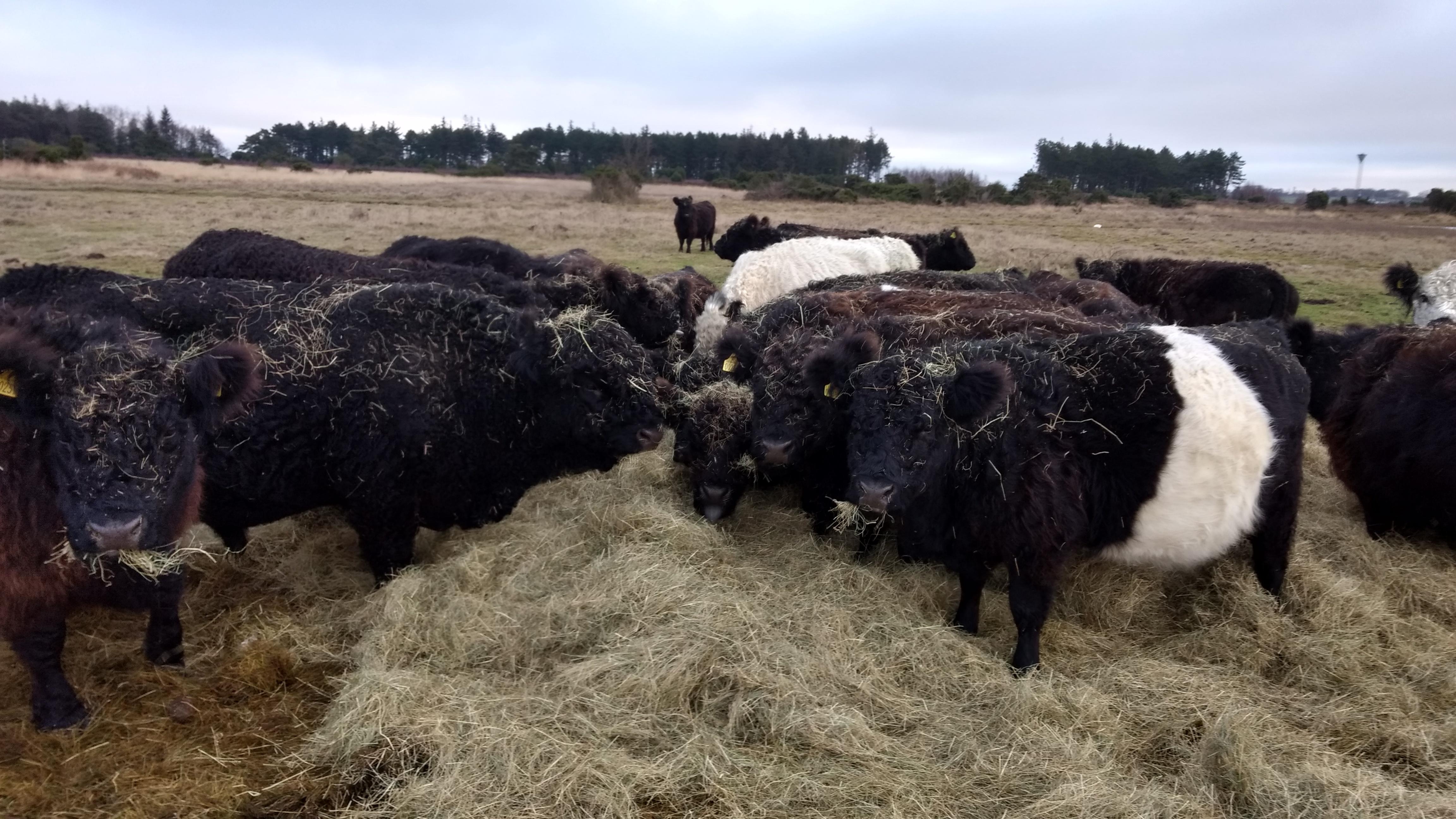 Galloway-kvæg, der laver naturpleje flere steder på Fyn. Et af stederne er Enebærodde ved Odense Fjord.