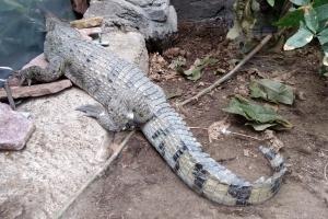 12. april 2018: En filippinsk krokodille er fragtet fra Schweiz til Terrariet i Vissenbjerg, hvor den fremover skal bo.  Foto: Ole Holbech
